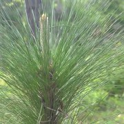 Longleaf Pine Restoration Part One