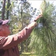 Longleaf Pine Restoration Part Two