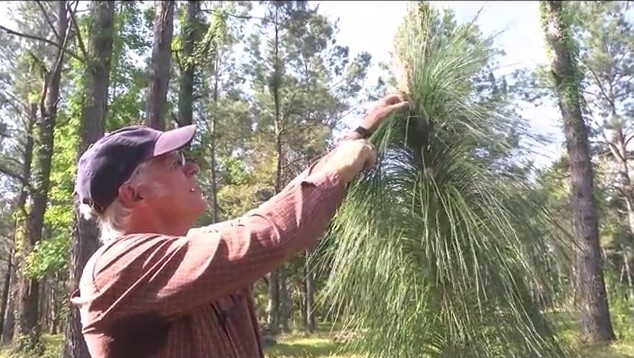 Longleaf Pine Restoration Part Two