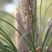 Longleaf Pine Restoration Part Three