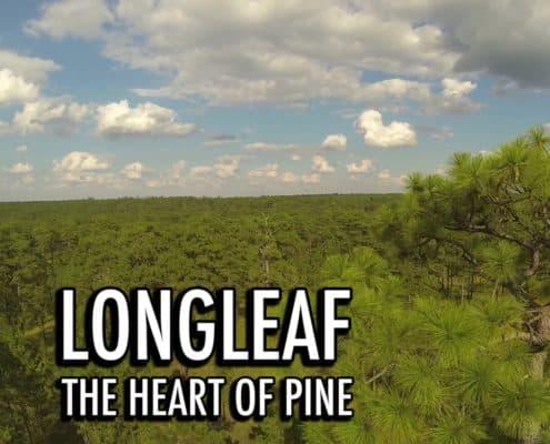 Longleaf: the Heart of Pine
